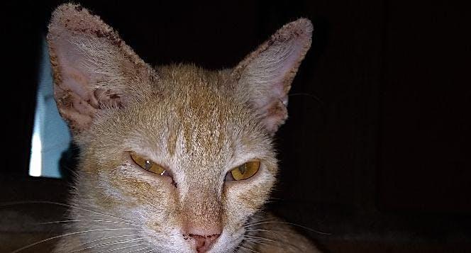 Kucing Melawan Penyakit Dari Kecil Di Telinga